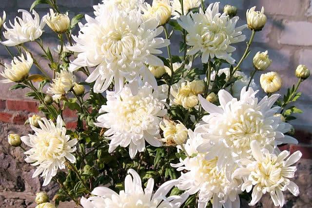 Осенние многолетние цветы для сада и дачи – хризантемы