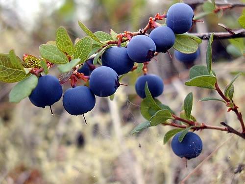 созревшая ирга - плод пяти вкусов