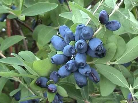 съедобные плоды жимолости