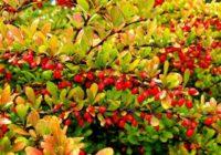 Плоды барбариса, фото