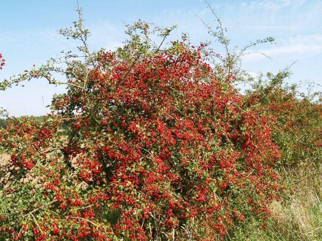 Боярышник кустарник для живой изгороди - фото
