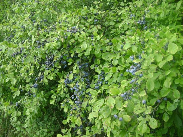 Терн – дешевый и быстрорастущий кустарник для живой изгороди