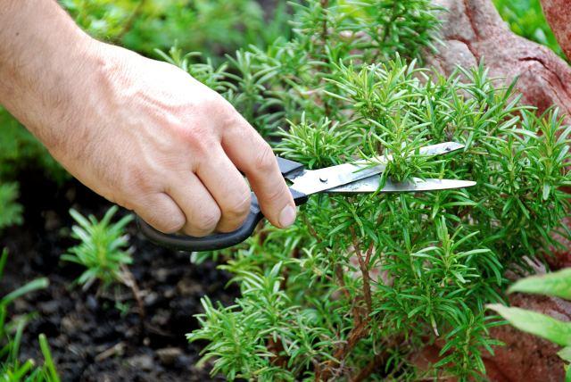 Тимьян ползучий уход - прореживание растения, фото.