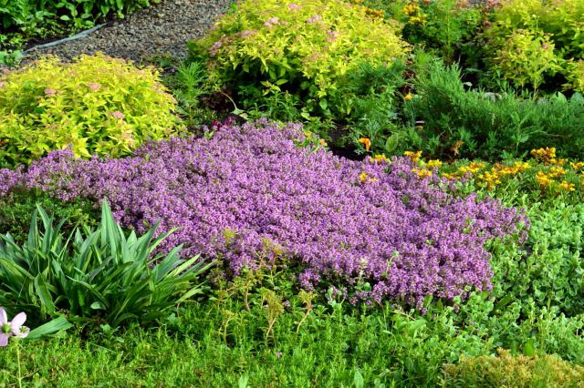 тимьян ползучий или чабрец фото растения