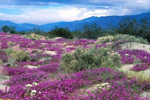 Цветущий тимьян в горах Алтая – фото.