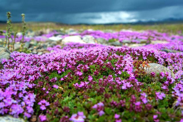 Чабрецовая поляна – Алтай, фото