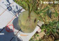 Время посадки живого дерева из веток ивы