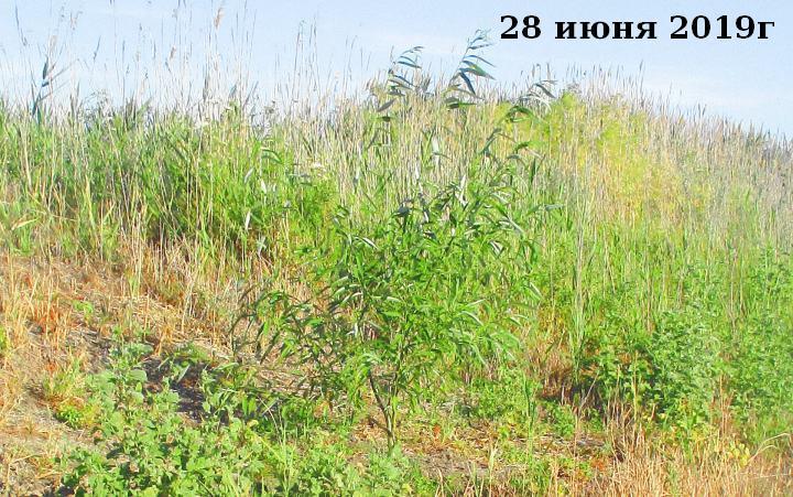 плакучая ива дерево выращивание