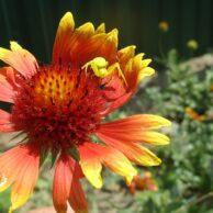 Цветы для сада огорода