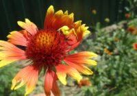 цветы для сада - гайлардия многолетняя