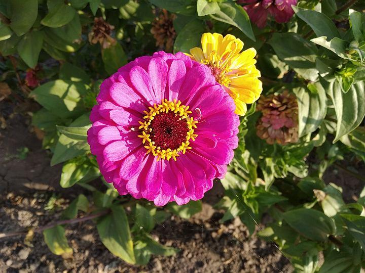 цветы для сада - цинея