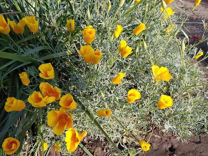 Цветы для сада - эшшольция калифорнийская
