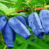 Как вырастить жимолость из семян в домашних условиях