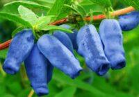жимолость фото кустарника и ягоды